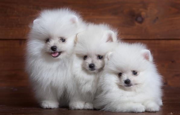 Picture white, fluffy, puppy, trio, Spitz