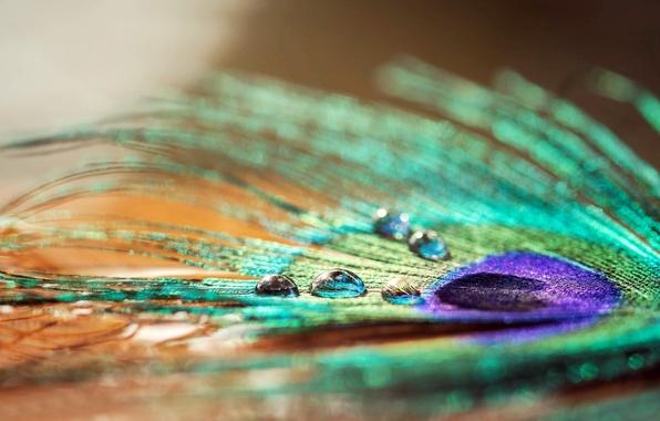 Picture water, drops, macro, Rosa, pen, widescreen, Wallpaper, wallpaper, peacock, widescreen, background, macro, full screen, HD …