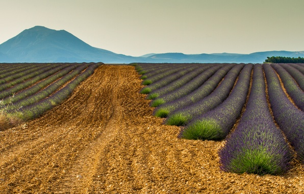 Picture field, mountains, nature, France, lavender