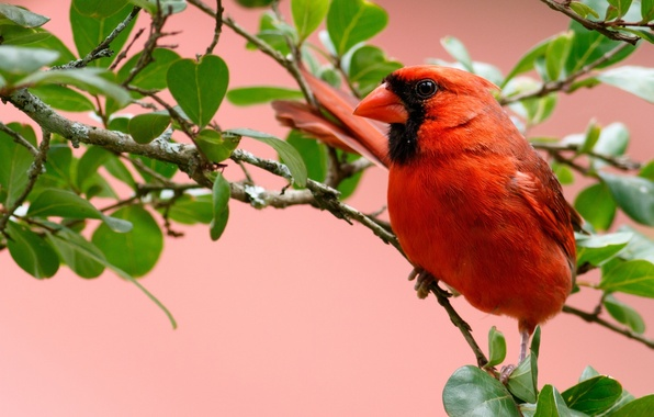 Picture leaves, branches, bird, cardinal, red cardinal, virgin cardinal