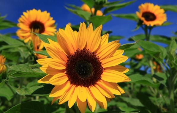 Picture macro, sunflowers, the sun