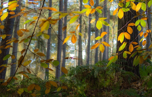 Picture autumn, forest, leaves, trees, fog
