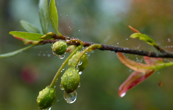 Picture drops, macro, foliage, branch, spring, rain, after