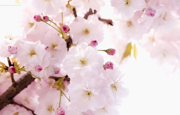 Picture flowers, tenderness, spring, Sakura, character, branch