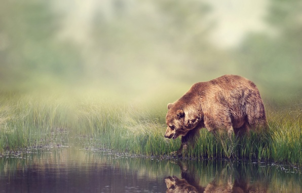 Picture forest, grass, water, reflection, river, the reeds, background, shore, blur, bear, bokeh, brown