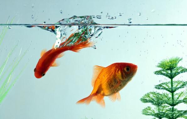 Picture water, macro, fish, aquarium, goldfish