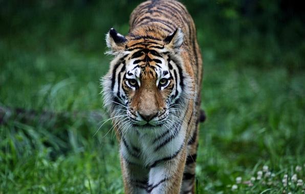 Picture forest, grass, cats, tiger, animal, predator, pussy, animals, tiger, predator