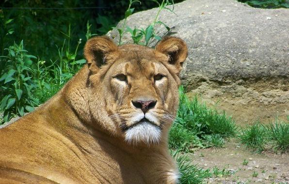 Picture look, face, predator, Leo, lioness