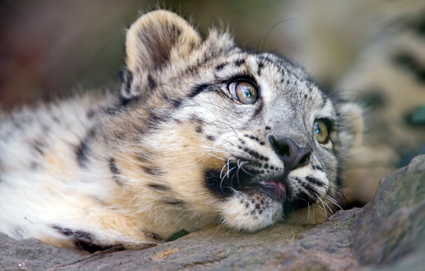 Baby snow leopard face