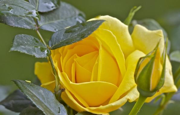 Picture leaves, macro, rose, Bud
