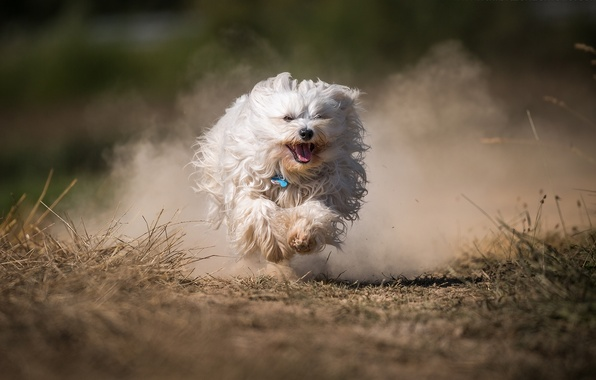 Picture dog, dust, running, The Havanese, shaggy