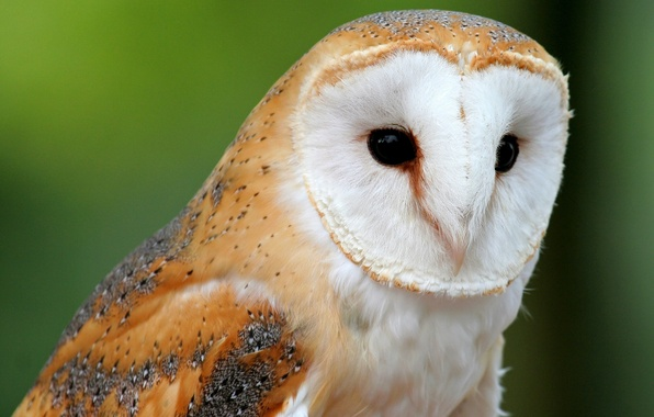 Picture animals, owl, Wallpaper, the barn owl