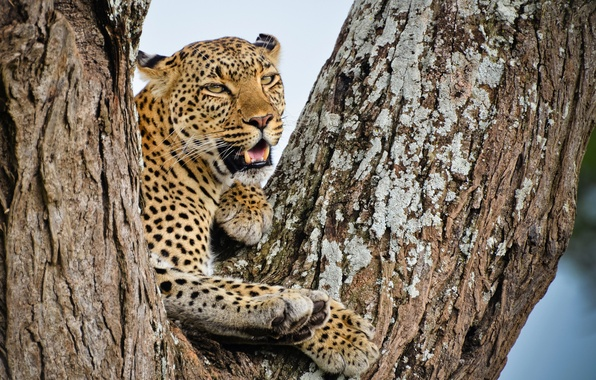 Picture look, tree, stay, predator, leopard, African