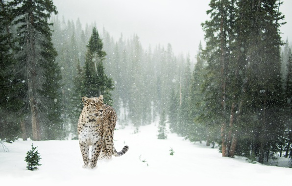 Picture winter, forest, snow, trees, snowflakes, glade, predator, leopard, spotted