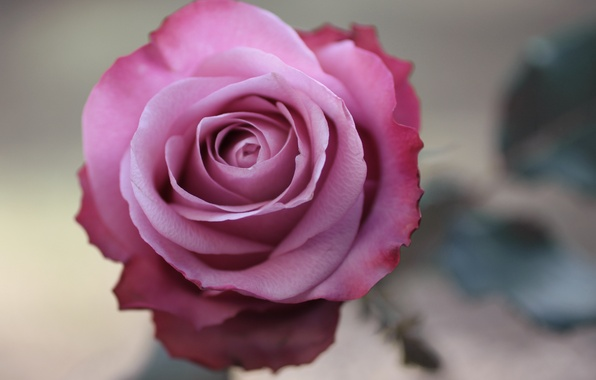 Picture flower, macro, photo, pink, rose