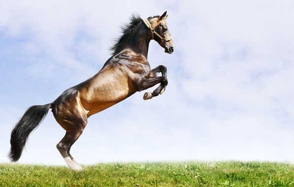 Picture BACKGROUND, GRASS, HORSE, The SKY, TAIL, MANE, MUSCLE, BUCK