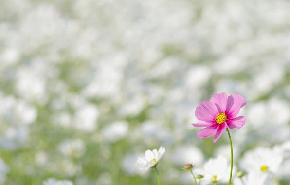 Picture field, flower, macro, flowers, nature, pink, glade, spring, petals, blur, white, kosmeya