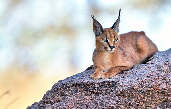Picture look, ears, Caracal