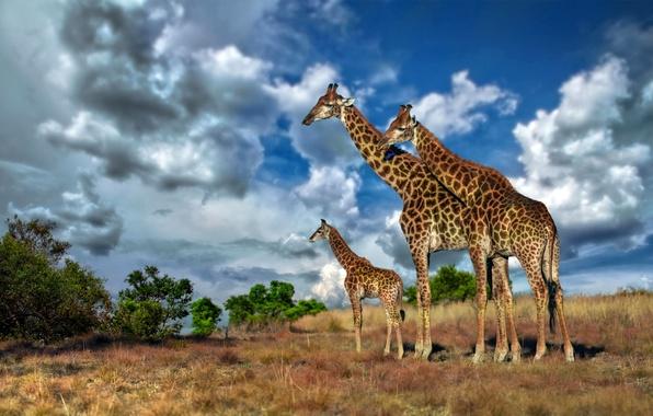 Picture the sky, clouds, giraffe, Savannah, Africa