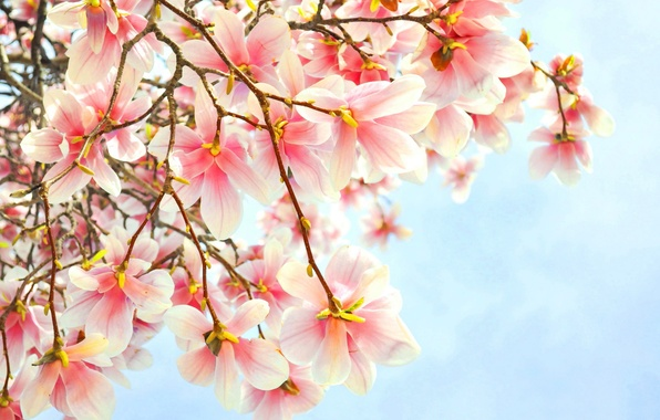 Picture flowers, branch, pink, Magnolia