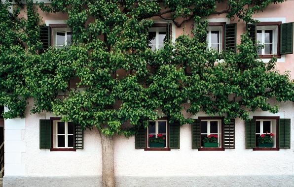 Picture flowers, house, tree, street, Windows, shutters