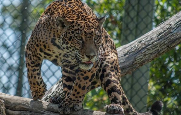 Picture face, light, pose, predator, spot, Jaguar, log, wild cat, zoo