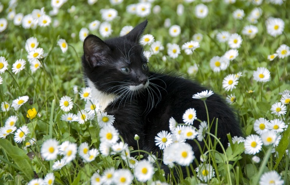 Picture cat, flowers, chamomile, cub, kitty