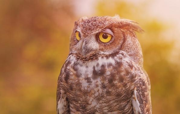 Picture background, owl, bird, Virgin Filin