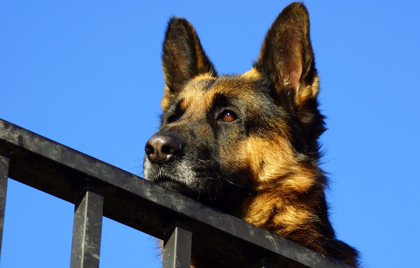 Picture the sky, face, German shepherd