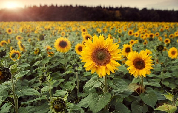 Picture field, leaves, flowers, background, Wallpaper, sunflower, wallpaper, flowers, widescreen, flowers, background, full screen, HD wallpapers, …