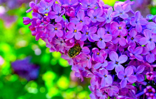 Picture flowers, beetle, lilac, bright Wallpaper