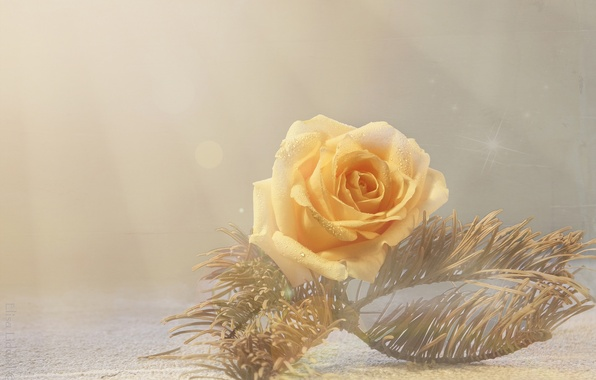 Picture macro, style, rose, Bud, yellow rose, pine branch