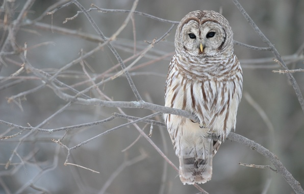 Picture winter, autumn, grey, tree, owl, branch