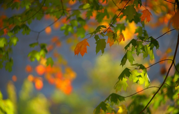 Picture autumn, leaves, branches, maple, bokeh
