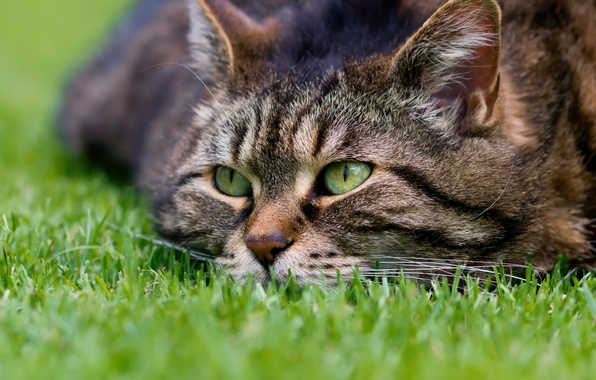 Picture cat, grass, cat, look, muzzle, Kote