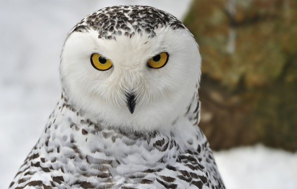 Picture winter, look, snow, bird, portrait, Snowy owl