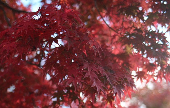 Picture leaves, macro, Tree, blur, red, maple