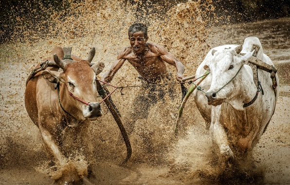 Picture race, sport, dirt, bulls