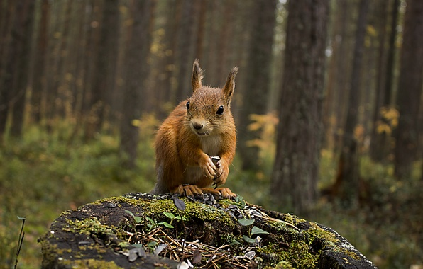 Picture autumn, forest, animals, nature, stump, protein, squirrel