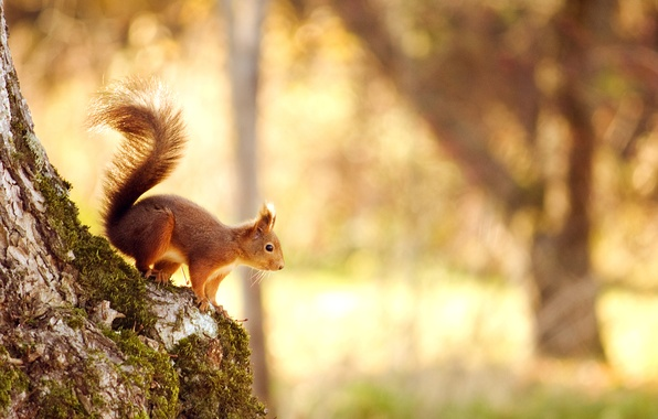 Picture forest, light, nature, tree, protein, light, forest, nature, tree, bokeh, bokeh, 2560x1600, squirrel