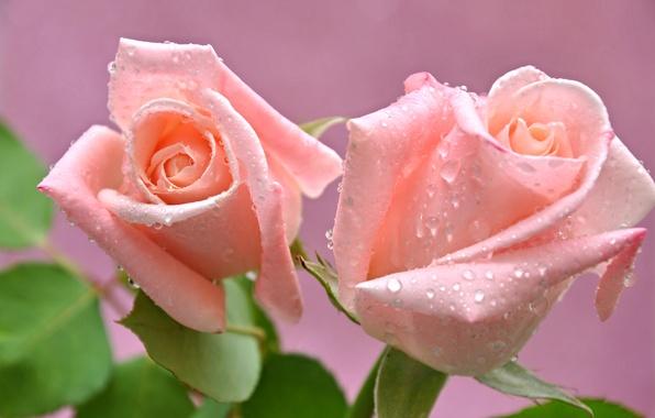 Picture water, drops, macro, Rosa, roses, petals, Bud