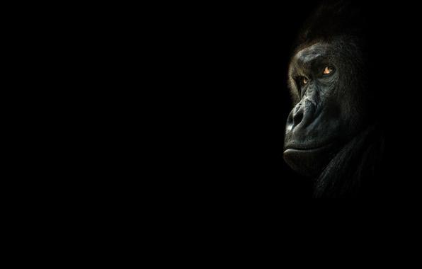 Photo wallpaper gorilla, look, black background, monkey, the dark background