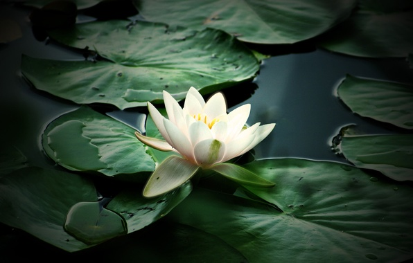 Picture flower, nature, plant, petals, pond, White water Lily