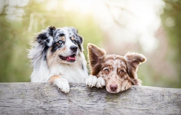 Picture dogs, muzzle, two dogs