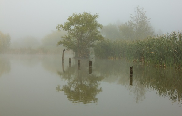 Picture fog, lake, bird, morning, reed
