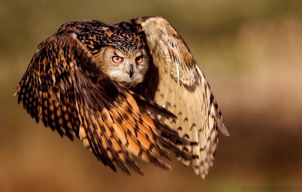 Picture eyes, flight, owl, wings