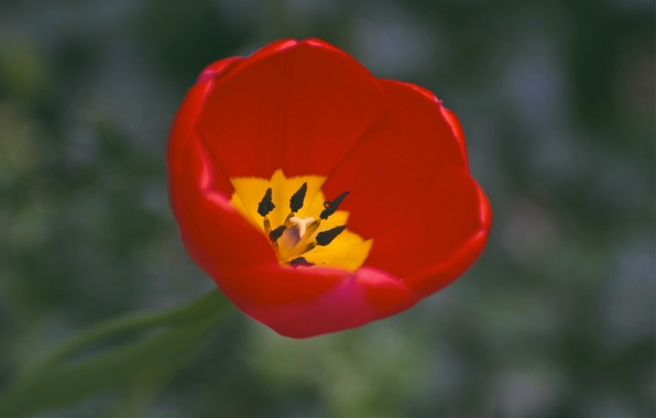 Picture macro, yellow, red, one, Tulip, focus, petals, red, yellow, one, petals, Tulip