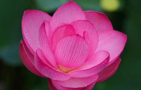 Picture macro, petals, Lotus