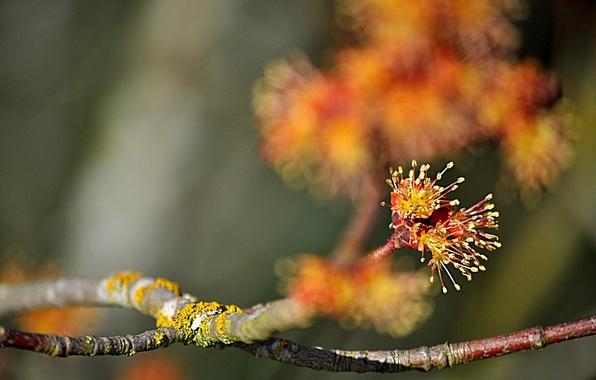 Picture branch, flowering, bokeh