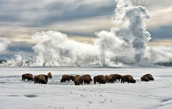 Picture HORIZON, The SKY, FROST, FIELD, CLOUDS, SNOW, WINTER, PLAIN, BUFFALO, BISON